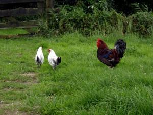 KipTok, kippen in het wild